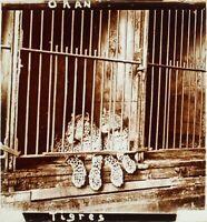 ALGÉRIE Oran Zoo Tigres Animaux, Photo Stereo Plaque Verre ca 1910