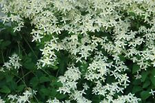 clematis, SWEET AUTUMN VINE - white perennial flower - 10 seeds! GroCo*