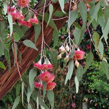 Eucalyptus caesia caesia  - Gungurru - 100 Fresh Seeds