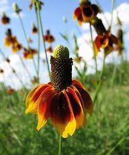 500 DWARF MEXICAN HAT Ratibida Flower Seeds *Comb S/H