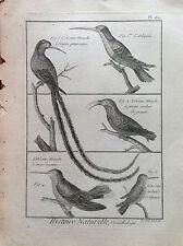 COLIBRI' Un LARGOS COLA DE NEGRO Benard 1790 HISTOIRE NATURELLE OrnitologíA
