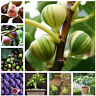 Tropical Fig Mini Seeds Plants Tree Bonsai Outdoor Fruit For Rare Home 50pcs