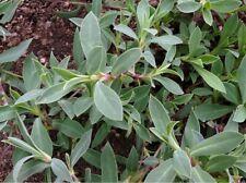 collejas silvestres semillas originales garantizada germinacion