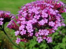 Purpletop Vervain Seeds - Clusters of deep lilac flowers are very showy! Wow!