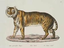 BRODTMANN, 'Der gestreifte Tiger', zoolog. Darst. eines Tigers, 1824, kol Litho