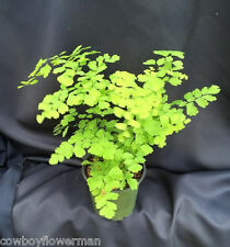 FRAGRENS MAIDENHAIR FERN, NICE PLANTS SHIPPED IN 4 INCH POTS