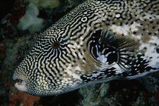 634088 puffer fish îles Caroline Palau A4 papier photo