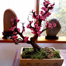 10x  Seeds RED PRUNUS ( prunus mume ) bonsai seed Home Garden-Plant