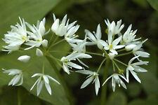 50 Graines non traitées d' AIL DES OURS Allium ursinum - Ail sauvage perpetuel