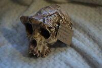 Skull Sahelanthropus tchadensis replica Full-size reconstruction Toumaï, Hominid
