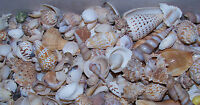 2+ POUND INDIAN OCEAN MIXED SEA SHELL CRAFT WEDDING FISH TANK MIX ITEM # LGSM-SU