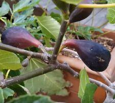 Violette De Bordeaux, Negronne Fig, Ficus Carica 1 gallon live plant 02
