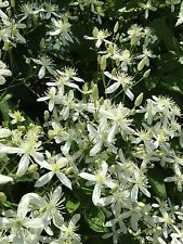 Sweet Autumn Clematis Perennial Vine FRAGRANT Healthy 3 - 5 year old plant
