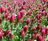 CLOVER CRIMSON RED Trifolium Incarnatum - 15,000 Bulk Seeds