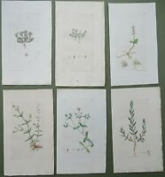 6 Antique Prints Sowerby 1st Edition Wort Grass Poly Stonecrop HandColoured 1794