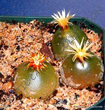 RARE CONOPHYTUM HAMMERI exotic cone cactus living stones mesemb seed - 15 SEEDS