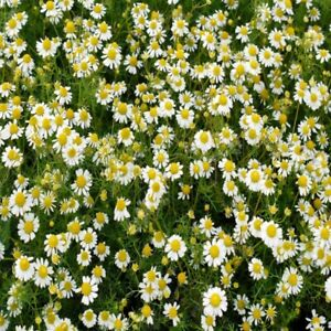 Garden Herb Chamomile 2500 Seeds Summer Outdoor Plant Flower Easy Grow Your Own