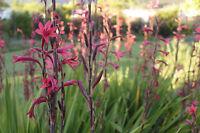 die Schwertlilie ist wunderschön im Garten
