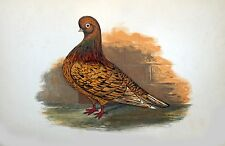 """Fancy Pigeon """" THE ALMOND TUMBLER  """" By James C. Lyell Poster Art 13"""" X 19"""""""