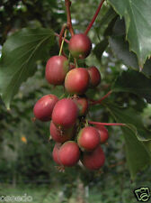 5 SEEDS-KIWI Fruit Seeds-#9044#