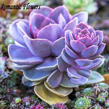 US FREE SHIPPING 100/Bag, Mixed Purple Succulent Bonsai Seeds, Rare Decor Plant