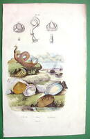 SHELLS of Mollusks Snails Clams - SUPERB H/C Color Antique Print Engraving
