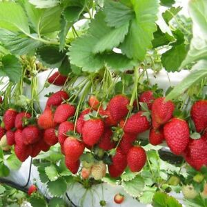 +200 Seeds Red Strawberry Climbing Unique Fruit Plant Home Garden Pot UK