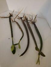 New listing 5 Red Mangrove Plants Saltwater Reef Freshwater Aquarium