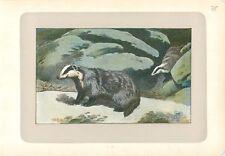 Blaireau européen Meles meles European badger PLANCHE ANTIQUE PRINT 1907