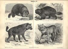 Stampa antica ANIMALI PREDATORI Lontra Ghiottone Lupo 1890 Old antique print