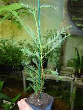 Fast growing baby California redwood tree in 4 inch pot, 16 inches high