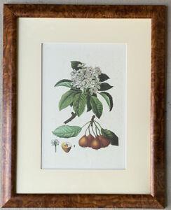 Original Lithograph of a Kiwi Fruit Botanical Illustration