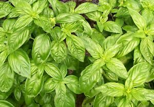 BASIL Genovese 100 seeds heirloom herbs.Great for pesto and Italian style dishes