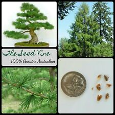 10+ JAPANESE LARCH TREE SEEDS (Larix kaempferi) Bonsai Autumn Decoration Hardy