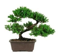Large Japanese Dwarf Juniper Bonsai Tree Great Gift !