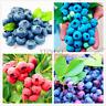 100 PCS Seeds Blueberry Flores Perennial Bonsai Fruit Plants Home Garden Rare V