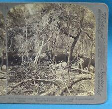 Stereoview Photo Ceylon Sri Lanka 1902 Wild Elephants In Stockade After Kraal