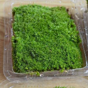 Dry Moss Micro Landscape Moss Garden Bonsai Lawn Mini Mossy Lichen Art Decor Hot