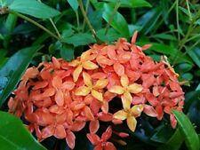 Carmen Tropical Ixora Live Plant Dwarf Taiwanensis Multi-toned Orange Yellow