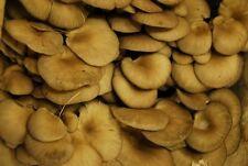 Рleurotus abalonus (Abalone) Mushroom / Mycelium Spores Spawn Dried Seed