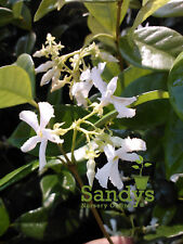 Jasmine- Confederate Very Fragrant & Easy to Grow ~Lot of 2~ Starter Plants