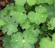 Alchemilla mollis Lady's Mantle -  3 Hardy Perennial Plants in 9cm pots