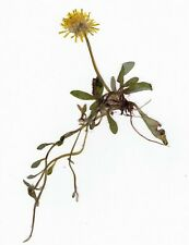 3 Pflanzen, Herbarium, 3 Korbblütler mit Wurzeln, Neu, Asteraceae, TOP, Frühjahr