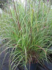 Miscanthus sinensis Goldglanz, Garten-Chinaschilf, sehr gute Winterhärte