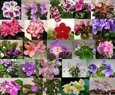 African Violet *10 leaves* 5 Different Labeled/Named Unrooted Leaf Sets Pairs