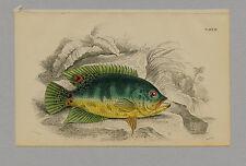 CYCHLA RUBRO-OCELLATA HAND-COLORED PRINT JARDINE NATURALISTS LIBRARY 1875