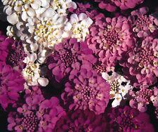 Candytuft Crown Mix - Approx 350 seeds- Annuals & Biennials