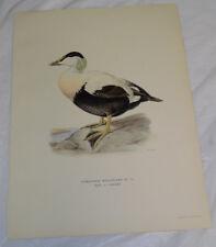 """1942 Vintage AUDUBON BIRDS #246 /""""AMERICAN EIDER/"""" DUCK Color Art Plate Lithograph"""