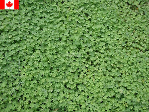 50 Grams Micro-Clover Seeds - Free Shipping