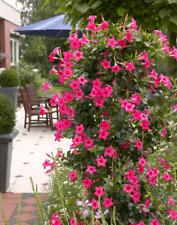 120 Pcs Mandevilla seeds potted balcony, DIY home decorative garden plant DG